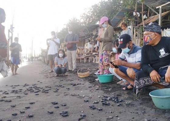 Nusabali.com - ratusan-ekor-tukik-dilepasliarkan-di-penimbangan