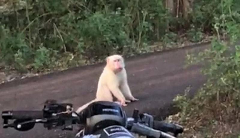 www.nusabali.com-monyet-putih-viral-di-pecatu-diduga-mengalami-kelainan-genetik
