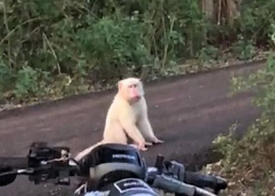 Nusabali.com - monyet-putih-viral-di-pecatu-diduga-mengalami-kelainan-genetik