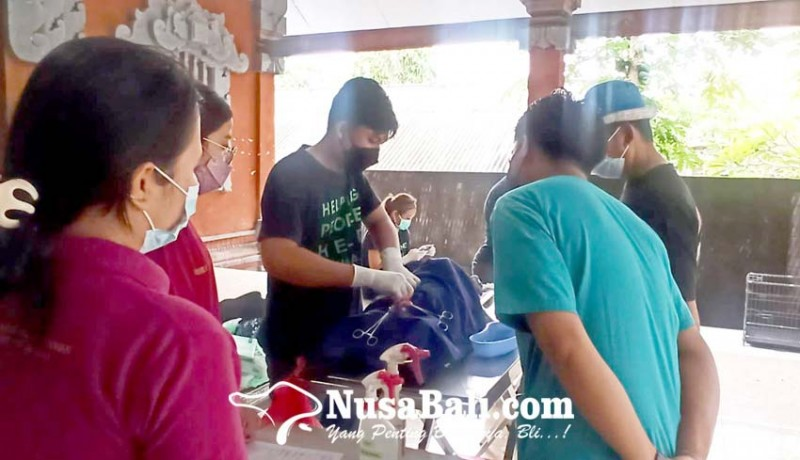 www.nusabali.com-tekan-rabies-dinas-pertanian-gelar-sterilisasi-anjing-dan-kucing