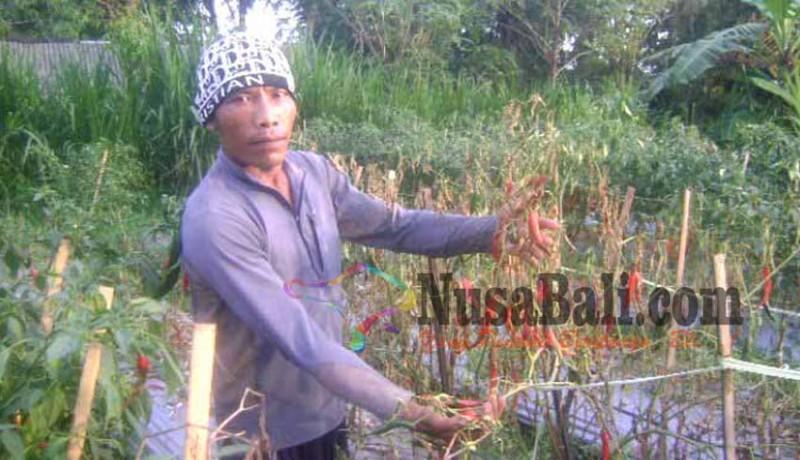 www.nusabali.com-petani-gagal-nikmati-harga-cabai