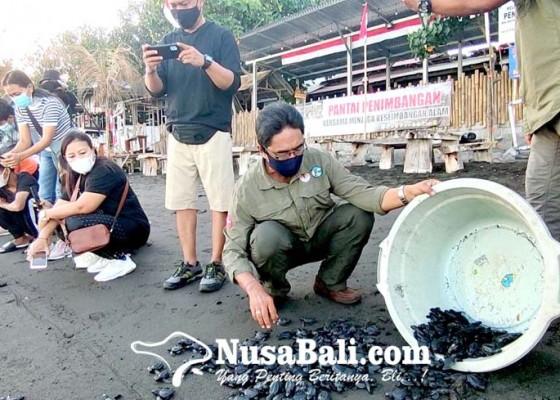 Nusabali.com - 500-tukik-dilepasliarkan-di-penimbangan