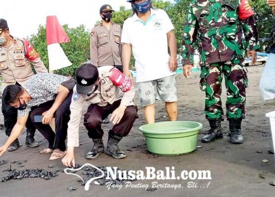 Nusabali.com - 760-tukik-dilepasliarkan-di-desa-umeanyar