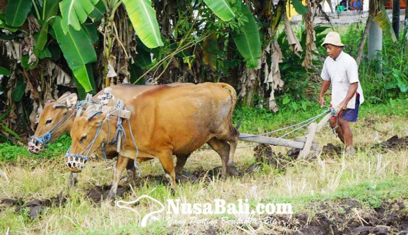 www.nusabali.com-tak-punya-biaya-traktor-petani-matekap-pakai-sapi-bunting