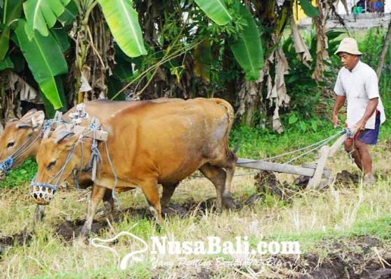 Nusabali.com - tak-punya-biaya-traktor-petani-matekap-pakai-sapi-bunting