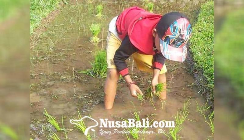 www.nusabali.com-bocah-sd-bantu-ayah-nandur-padi