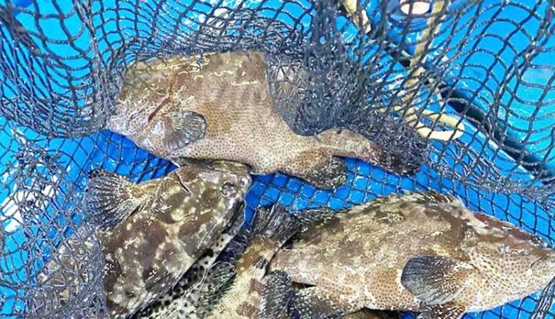 www.nusabali.com-penangkapan-ikan-kerapu-sudah-berlebihan