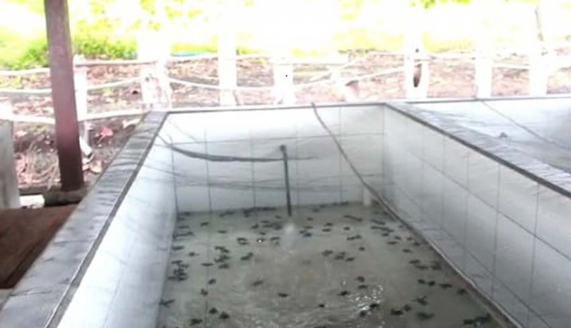 www.nusabali.com-warga-lokal-yang-temukan-sarang-telur-penyu-dapat-imbalan-uang-tunai