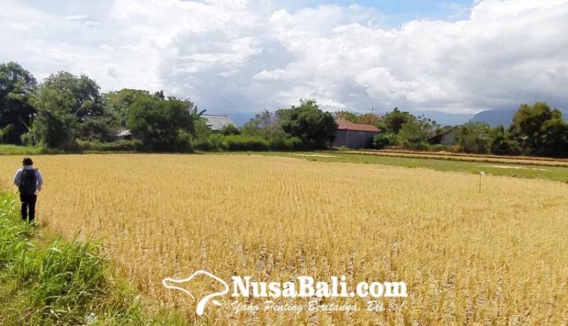 www.nusabali.com-puluhan-hektare-sawah-gagal-panen