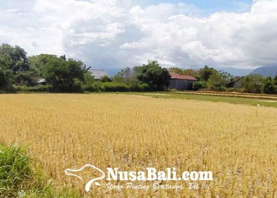 Nusabali.com - puluhan-hektare-sawah-gagal-panen