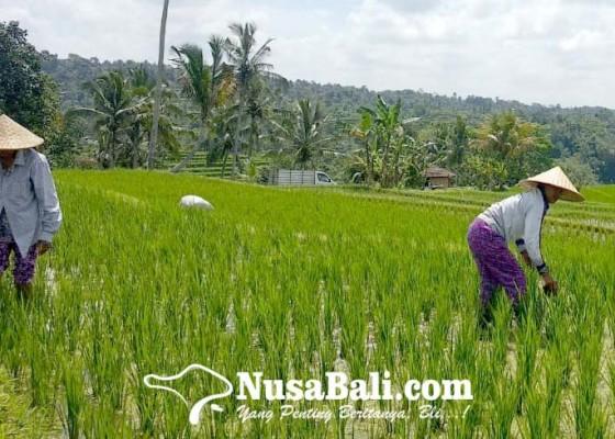 Nusabali.com - desa-jatiluwih-dipromosikan-di-perancis