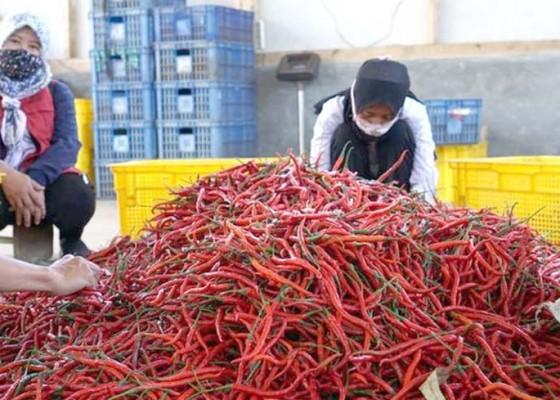 Nusabali.com - gandeng-industri-serap-cabai-dari-petani