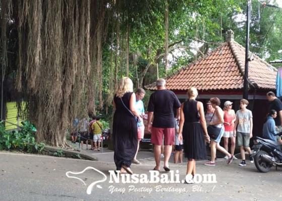 Nusabali.com - desa-adat-padangtegal-kewalahan-sediakan-pakan-monyet