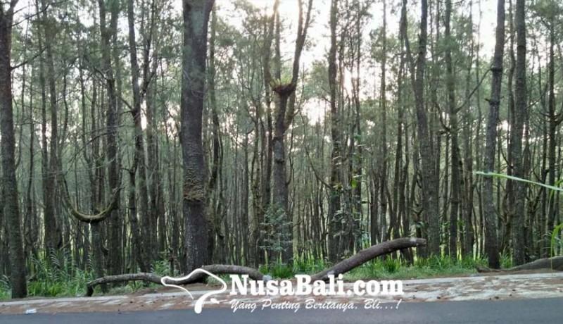 www.nusabali.com-hutan-pinus-glagah-linggah-dijajaki-jadi-destinasi-wisata