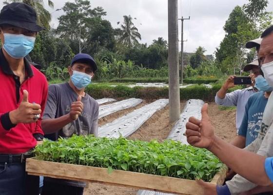 Nusabali.com - badung-bagikan-bibit-cabai-ke-petani
