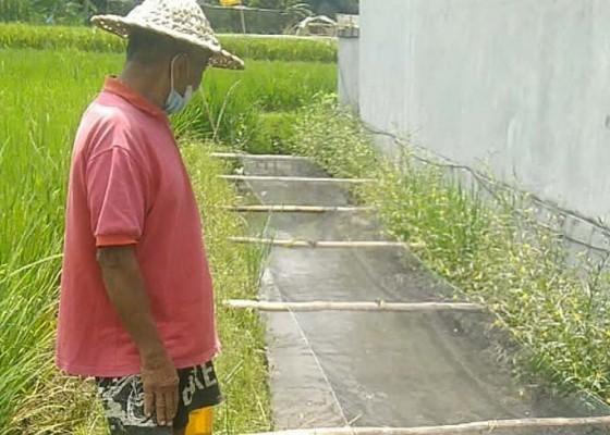 Nusabali.com - dinas-pkp-bangli-kembangkan-program-mina-padi