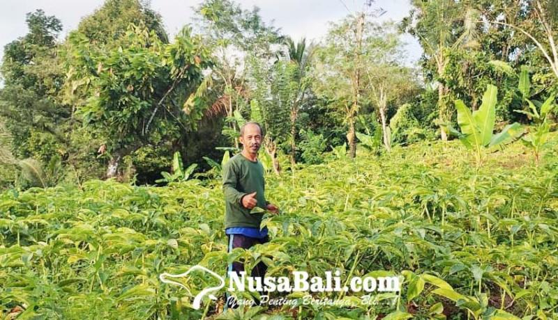 www.nusabali.com-porang-mimpi-anyar-krama-tani-bali