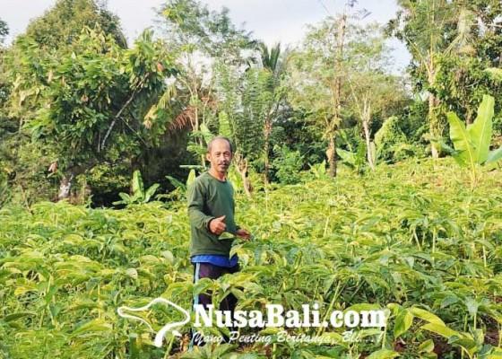 Nusabali.com - porang-mimpi-anyar-krama-tani-bali