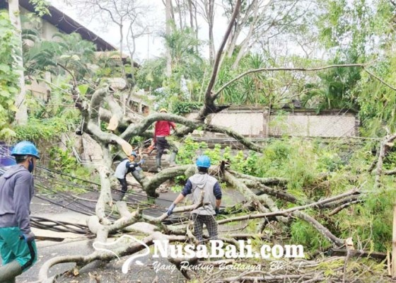 Nusabali.com - tiang-listrik-roboh-akibat-tertimpa-pohon-tumbang
