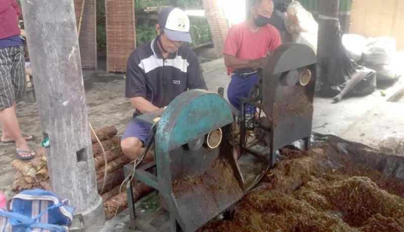 www.nusabali.com-proses-produksi-tembakau-susur