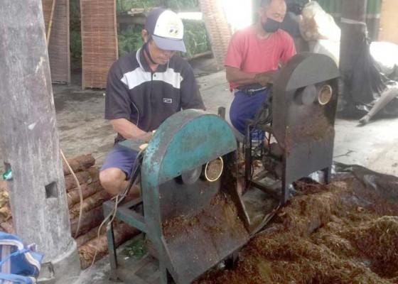 Nusabali.com - proses-produksi-tembakau-susur