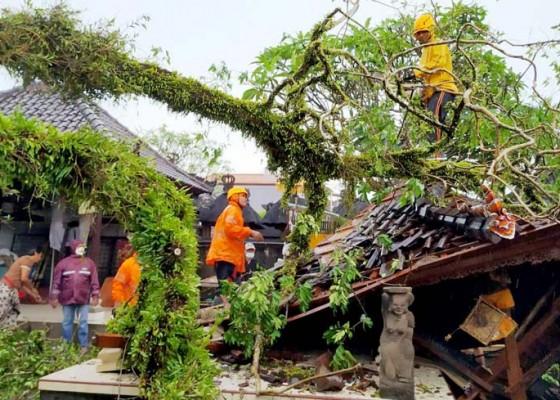 Nusabali.com - hujan-deras-pohon-tumbang-timpa-pura