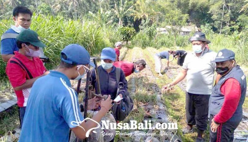 www.nusabali.com-panen-bawang-anjlok-akibat-layu-fusarium