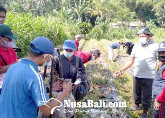 Nusabali.com - panen-bawang-anjlok-akibat-layu-fusarium