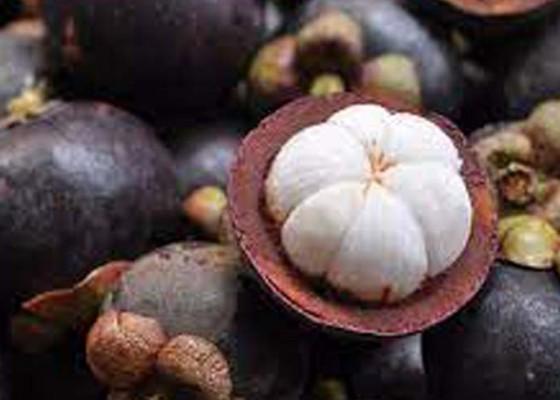 Nusabali.com - panen-manggis-di-bali-mundur