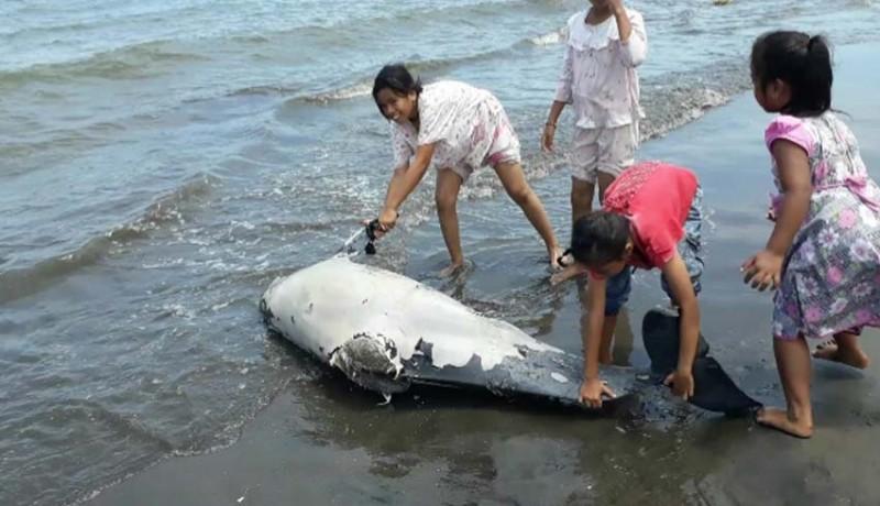 www.nusabali.com-bangkai-lumba-lumba-terdampar-di-pantai-pebuahan