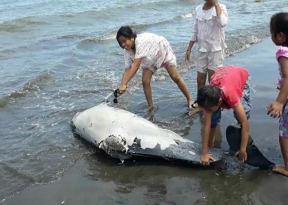 Nusabali.com - bangkai-lumba-lumba-terdampar-di-pantai-pebuahan