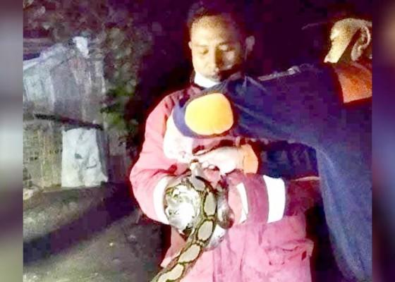 Nusabali.com - damkar-selat-tangkap-ular-piton-15-meter