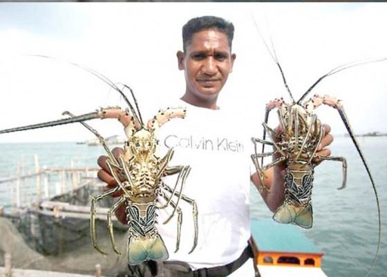 Nusabali.com - kkp-intensifkan-pengawasan-di-sentra-budidaya-lobster