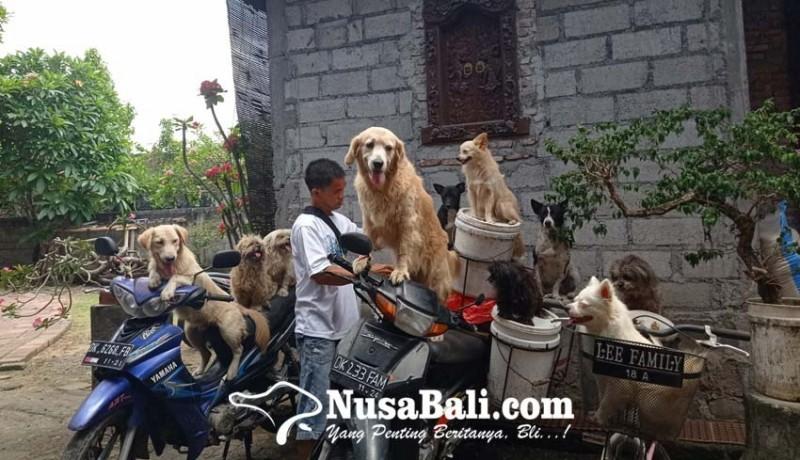 www.nusabali.com-tiap-hari-bonceng-banyak-anjing-cari-pakan-babi