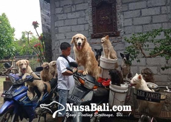 Nusabali.com - tiap-hari-bonceng-banyak-anjing-cari-pakan-babi