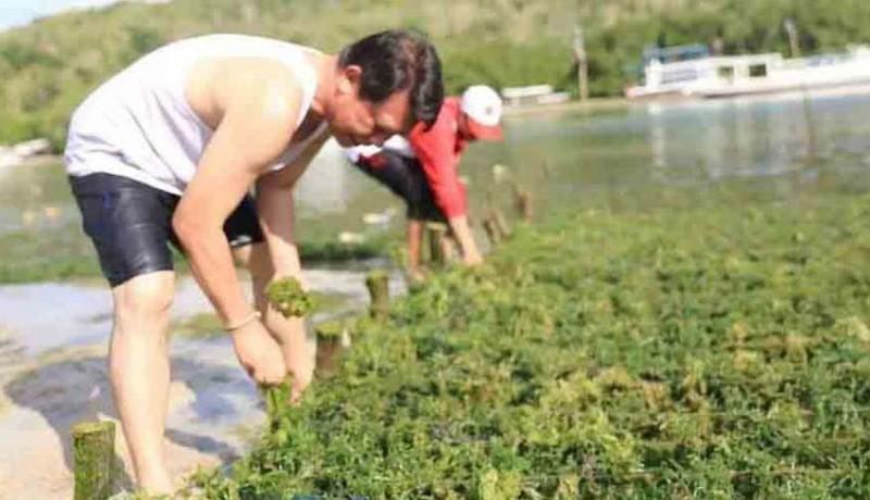 www.nusabali.com-lumut-serang-budidaya-rumput-laut