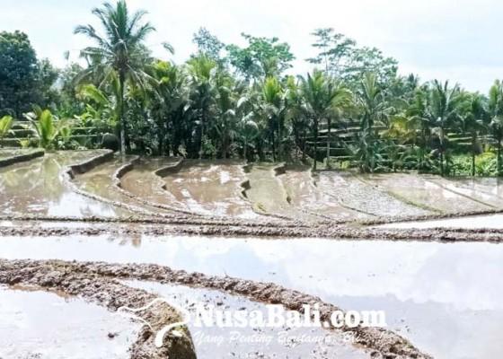 Nusabali.com - pandemi-luas-tanam-padi-menurun
