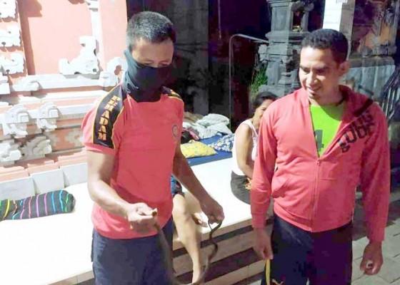 Nusabali.com - petugas-damkar-tangkap-ular-sawah-di-btn-taman-ledang
