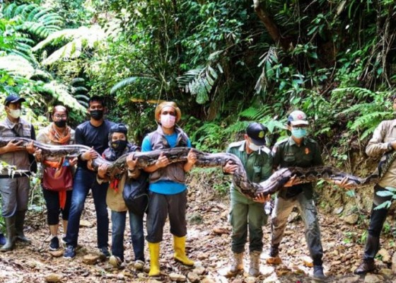 Nusabali.com - ngeri-ular-piton-panjang-9-meter-dilepasliarkan-di-hutan-konservasi