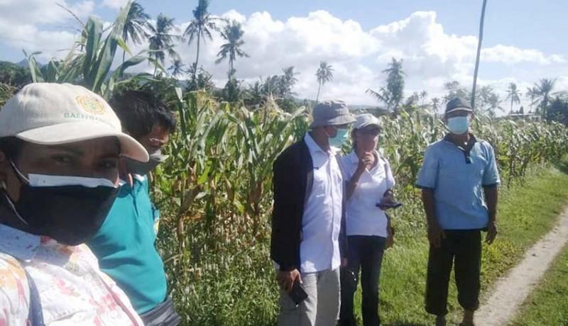 www.nusabali.com-jagung-pangan-alternatif-pengganti-beras-produksi-tertinggi-di-buleleng