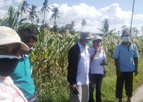 Nusabali.com - jagung-pangan-alternatif-pengganti-beras-produksi-tertinggi-di-buleleng