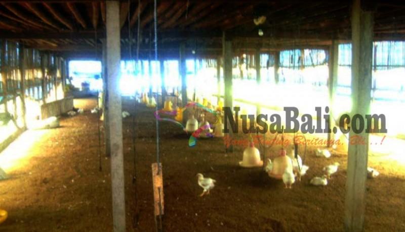 www.nusabali.com-penyakit-ngorok-serang-ayam
