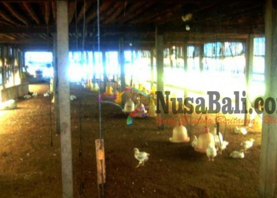 Nusabali.com - penyakit-ngorok-serang-ayam