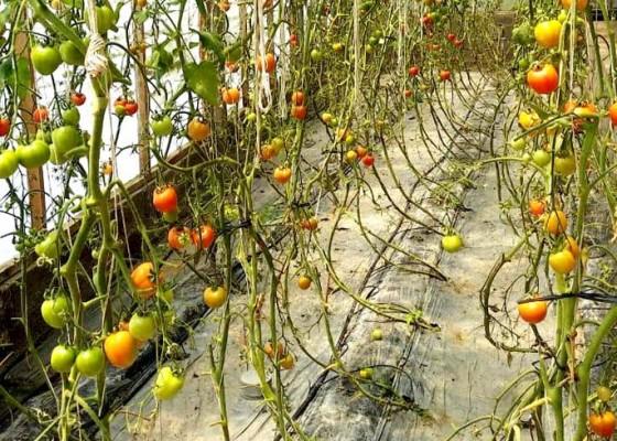 Nusabali.com - petani-di-baturiti-mulai-tanam-sayur