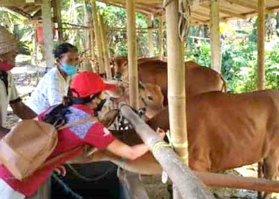 Nusabali.com - cegah-sakit-sapi-di-blahbatuh-diasup-vitamin
