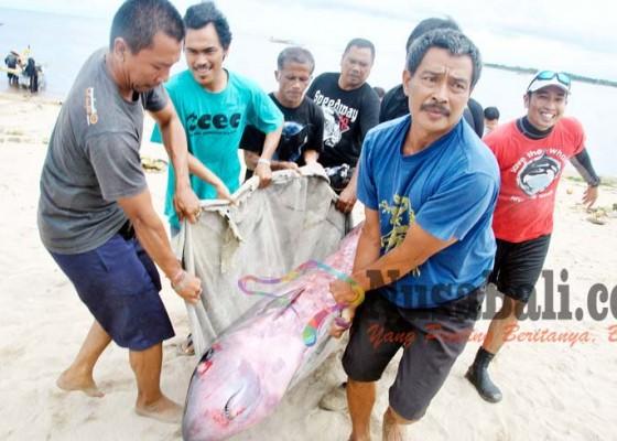 Nusabali.com - paus-terlukaterdampar-di-pantai