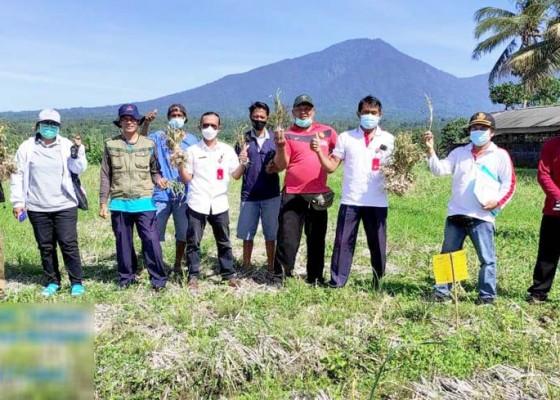 Nusabali.com - petani-di-penebel-hasilkan-bawang-putih-10-tonha
