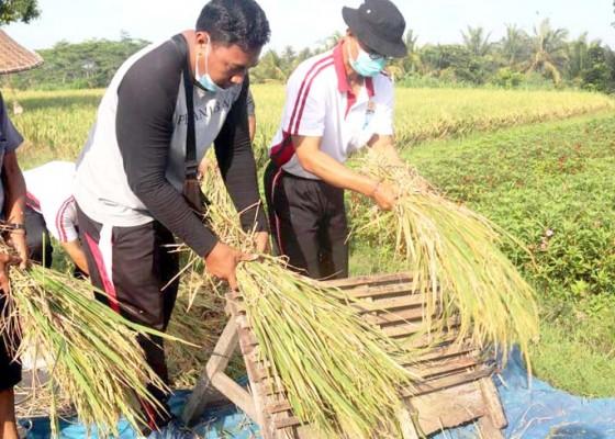 Nusabali.com - padi-organik-di-subak-ayunan-panen-perdana