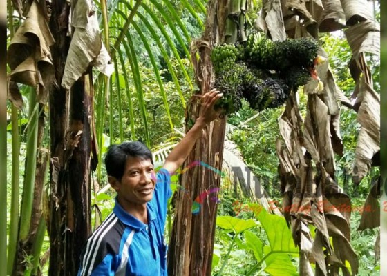 Nusabali.com - pohon-pisang-bertandan-lima-dan-lima-jantung-bikin-heboh