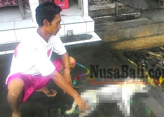 Nusabali.com - 2-anjing-positif-rabies-di-sukawati